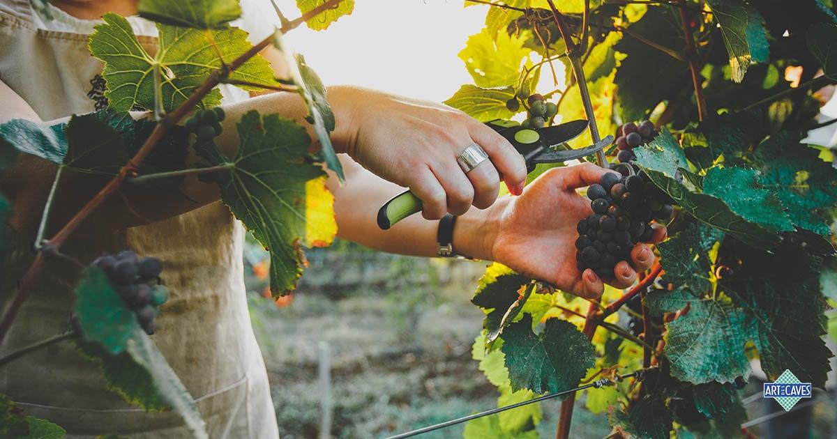 Quais são as principais características da uva sangiovese?