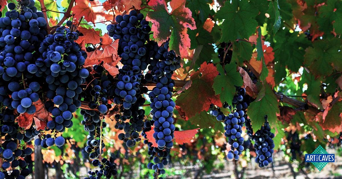 Principais uvas da América do Sul