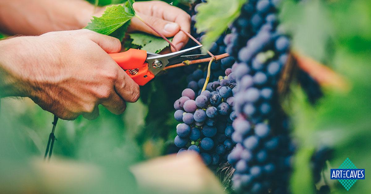 """Entenda o que é """"colheita tardia"""" e seu uso na produção de vinho"""