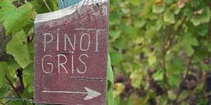 Pinot Gris ou Pinot Grigio